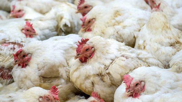 flock of hens